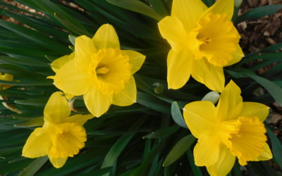 It's Almost Time to Plant Daffodils and Other Bulbs